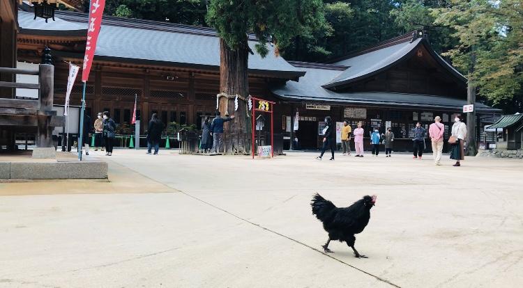 長野県安曇野市穂高神社の黒い鶏の写真